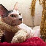 القطط الصلعاء - قطط بدون شعر 5