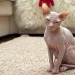 القطط الصلعاء - قطط بدون شعر 6 Size:52.40 Kb Dim: 750 x 500