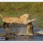 لبوه تهاجم تمساح 5