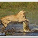 لبوه تهاجم تمساح 6