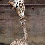 animal-giraffe-mother-baby-kiss-kissing