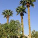 Washingtonia_california_fan_palm