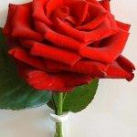 وردة1