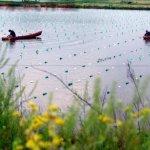 مزارع اللؤلؤ في اليابان1