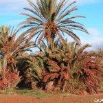 الجراد يكتسح  المملكة المغربي4