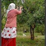 موسم قطف الرمان في ايران5