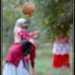 موسم قطف الرمان في ايران12