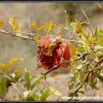 موسم قطف الرمان في ايران14
