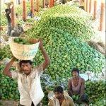 موسم المنجا في الهند4