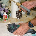 طريقة معالجة كسور الطيور  بال7