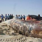 إنتحار حوت ضخم على شاطئ راس ت1