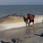 إنتحار حوت ضخم على شاطئ راس ت2