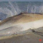 إنتحار حوت ضخم على شاطئ راس ت3