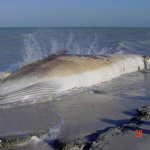إنتحار حوت ضخم على شاطئ راس ت4