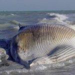 إنتحار حوت ضخم على شاطئ راس ت5