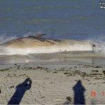 إنتحار حوت ضخم على شاطئ راس ت7