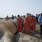 إنتحار حوت ضخم على شاطئ راس ت8