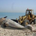 إنتحار حوت ضخم على شاطئ راس ت9