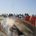 إنتحار حوت ضخم على شاطئ راس ت13