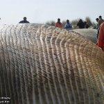 إنتحار حوت ضخم على شاطئ راس ت14