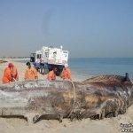 إنتحار حوت ضخم على شاطئ راس ت15