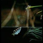 سمكة تصطاد فرائسها بسهام من ا3