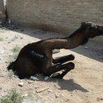حادثة سقوط ناقة في احد حفر ال4