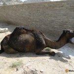 حادث سقوط ناقه9
