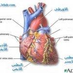 القلب 1