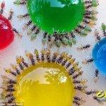 الصدفة تكشف ان النمل يتلون بل1