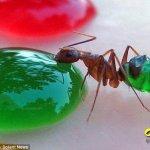 الصدفة تكشف ان النمل يتلون بل3