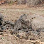 عملية إنقاذ درامية لفيلة و طف1