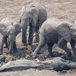 عملية إنقاذ درامية لفيلة و طف3