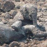 عملية إنقاذ درامية لفيلة و طف4
