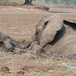 عملية إنقاذ درامية لفيلة و طف7
