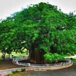 أكبر شجرة في اليمن - شجرة الغ1