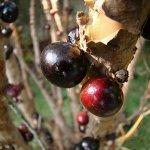 شجرة العنب البرازيلية, واحدة 1