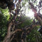 شجرة العنب البرازيلية, واحدة 4