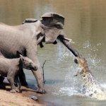 فيل صغير شجاع ينقذ أبوه من بي1