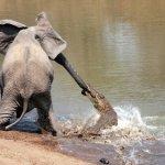 فيل صغير شجاع ينقذ أبوه من بي2