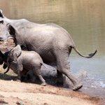 فيل صغير شجاع ينقذ أبوه من بي3