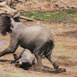 فيل صغير شجاع ينقذ أبوه من بي4