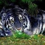 نمر ، نمور