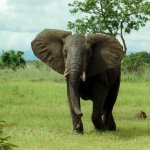 فيل elephant Size:293.40 Kb Dim: 1600 x 1044