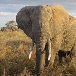 فيل elephant Size:475.40 Kb Dim: 1600 x 1200