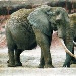 فيل elephant Size:204.70 Kb Dim: 1600 x 1056