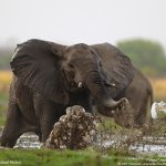 فيل elephant Size:223.10 Kb Dim: 1024 x 768