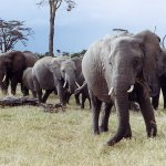 فيل elephant Size:210.10 Kb Dim: 1600 x 1093