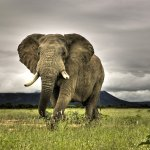 فيل elephant Size:581.70 Kb Dim: 1920 x 1200