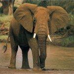 فيل elephant Size:155.30 Kb Dim: 1024 x 768